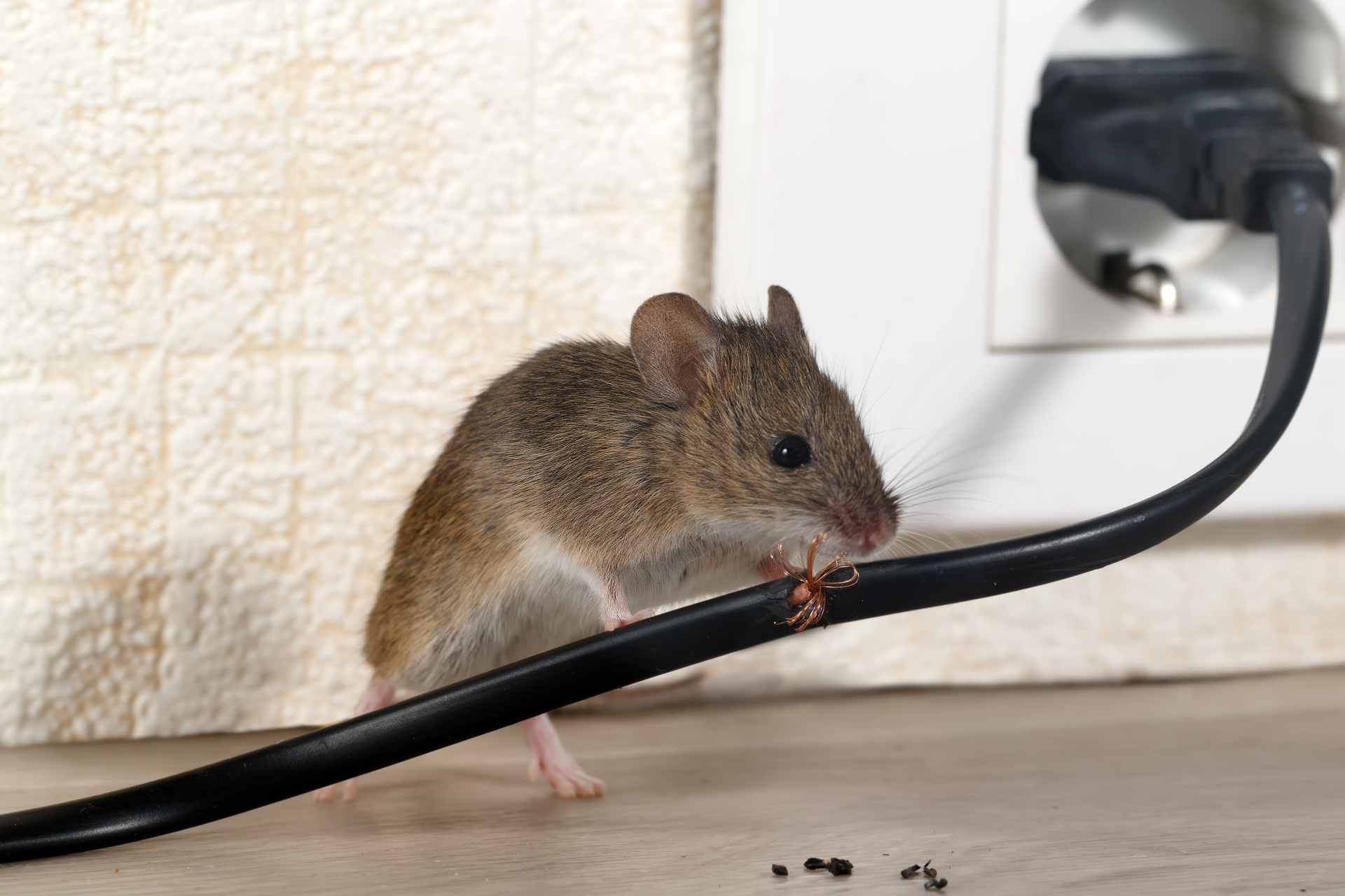 Mice Infestation, Pest Control in Harlesden, Willesden, NW10. Call Now 020 8166 9746