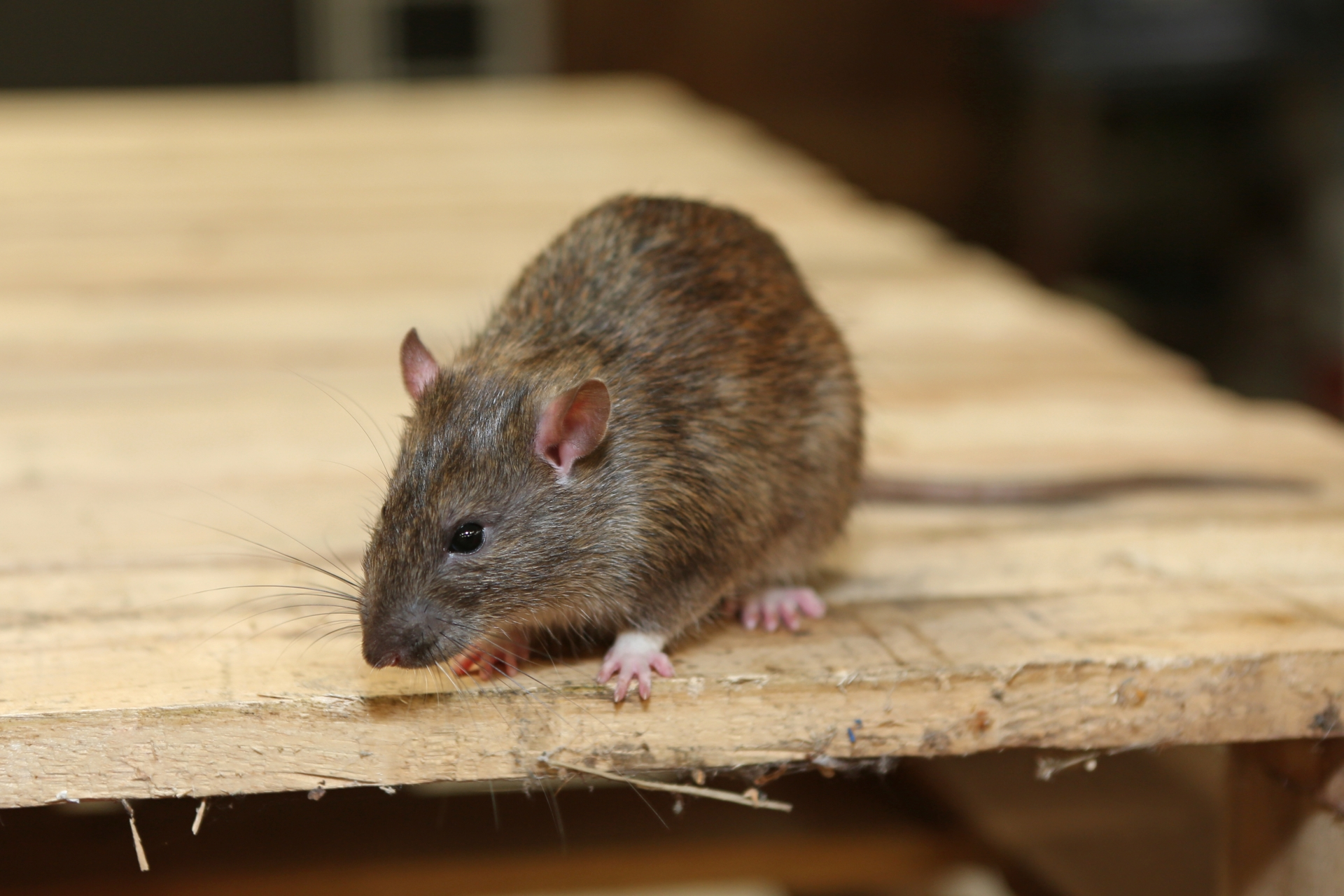 Rat Infestation, Pest Control in Harlesden, Willesden, NW10. Call Now 020 8166 9746