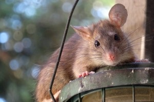 Rat Control, Pest Control in Harlesden, Willesden, NW10. Call Now 020 8166 9746