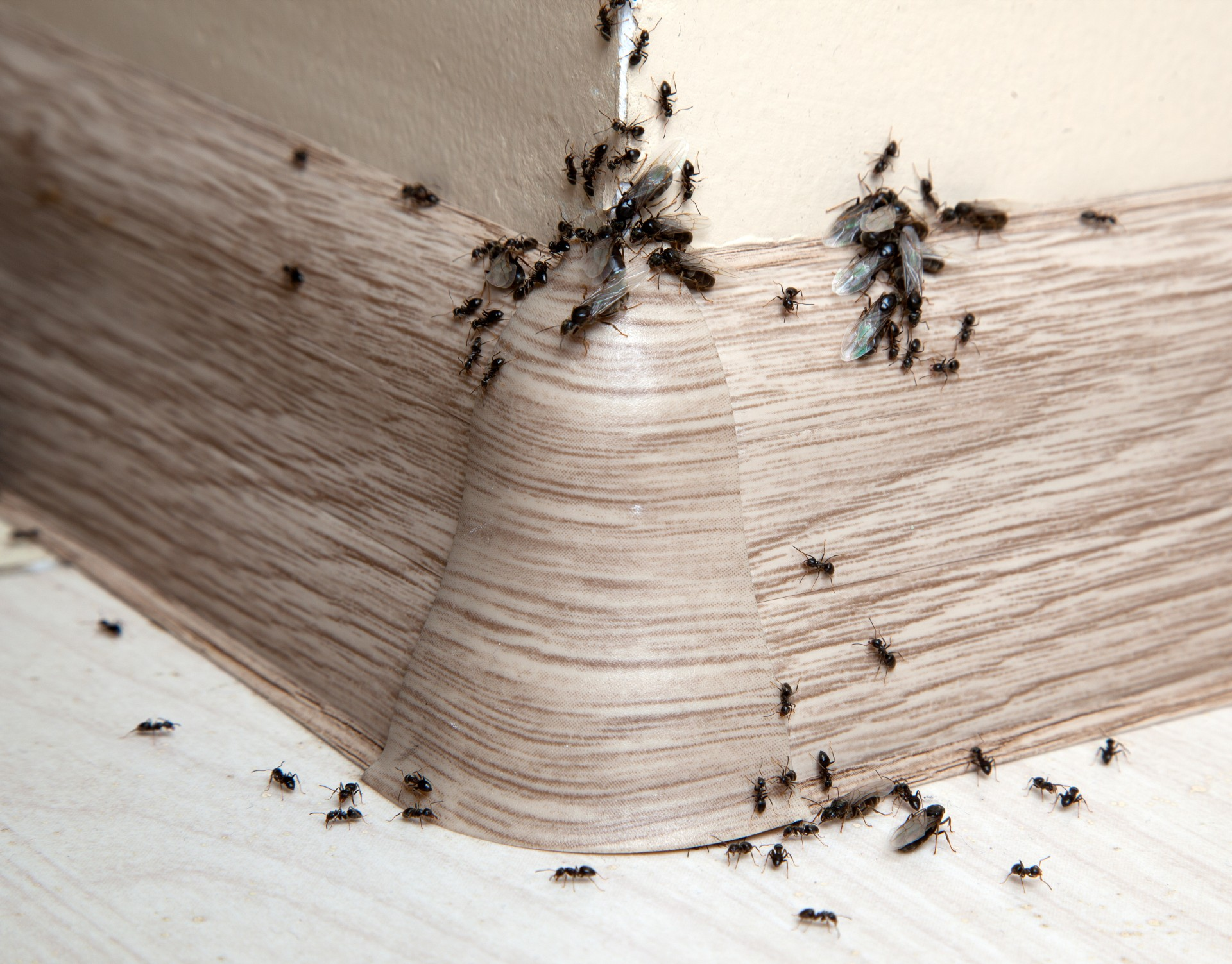 Ant Infestation, Pest Control in Harlesden, Willesden, NW10. Call Now 020 8166 9746