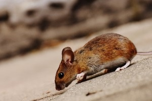 Mice Exterminator, Pest Control in Harlesden, Willesden, NW10. Call Now 020 8166 9746