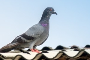 Pigeon Control, Pest Control in Harlesden, Willesden, NW10. Call Now 020 8166 9746